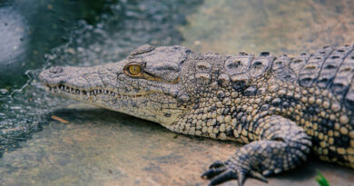Some ancient crocodiles may have chomped on plants instead of meat